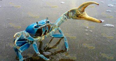 Buscan mayor protección para el cangrejo azul en Cazones de Herrera