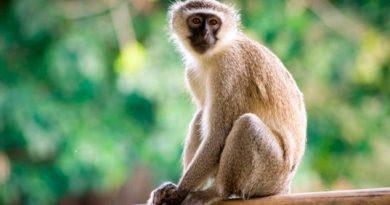 Monos realizan llamado para advertir la presencia de drones