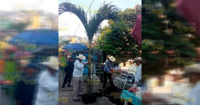 Tras polémica por tala de árboles en Filomeno Mata, ahora plantan Palmitas