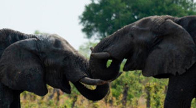 Zimbabwe vende elefantes por US$ 2,7 millones