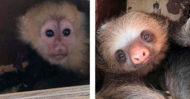 ¡Terrible crueldad! Matan a monos capuchinos bebés y osos perezosos