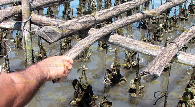 Buscan rescatar actividad ostrícola en la región de Tuxpan