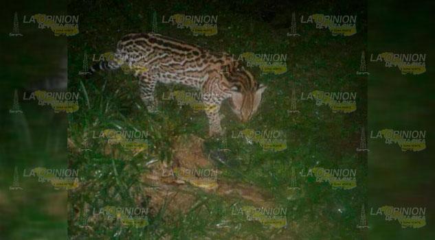 Confirman avistamiento de tigrillo en la comunidad El Cepillo de Gutiérrez Zamora
