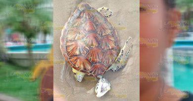 Mueren tortugas por redes pesqueras en Tuxpan