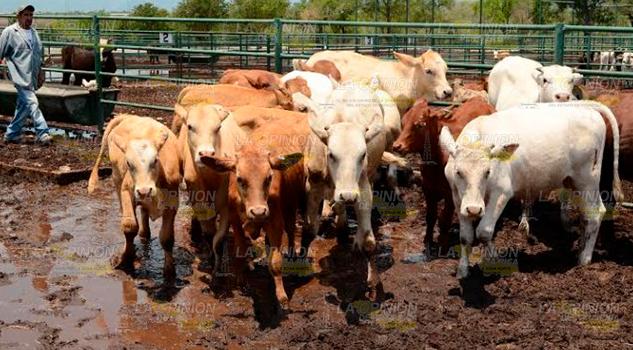 Reportan el robo de más cabezas de ganado en Ozuluama