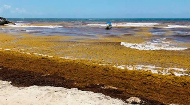 Si no se toman acciones preventivas, sargazo llegaría a costas de Veracruz