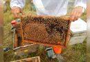 Se desploma el  precio de la miel