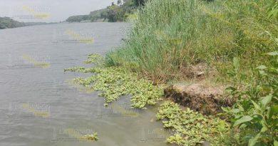 Lirio acuático es una amenaza para el río Tuxpan