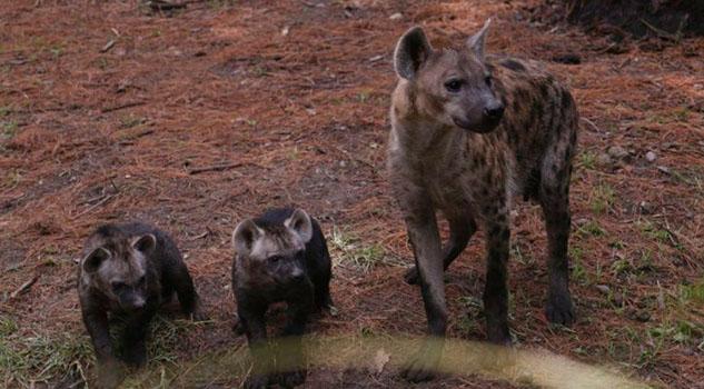 Nacen dos hienas moteadas en el zoológico de Chapultepec