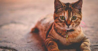 Crean vacuna contra alergia a los gatos
