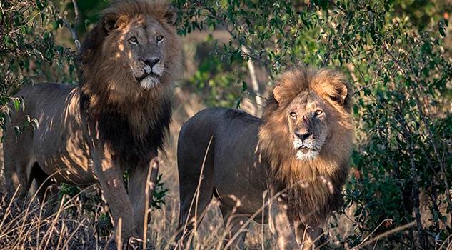 Hombre muere víctima de sus propios leones cautivos en Sudáfrica