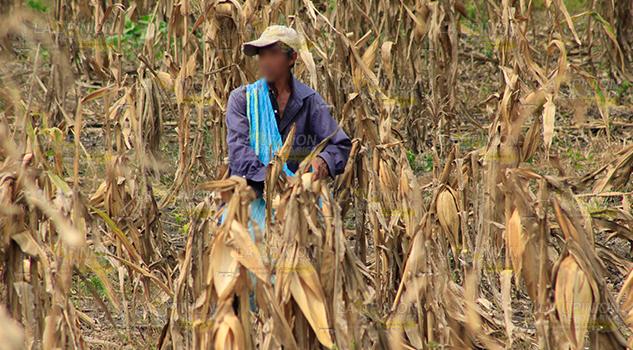 Pega sequía a la agricultura en Coatzintla