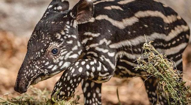 Tapir Malayo en peligro de extinción nace en un zoológico británico