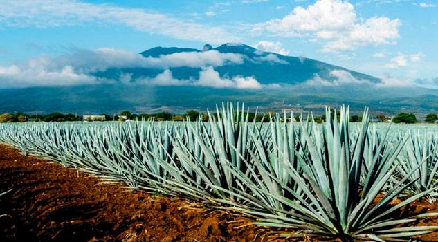 Expertos de la UNAM descubren cuatro nuevas especies de agave