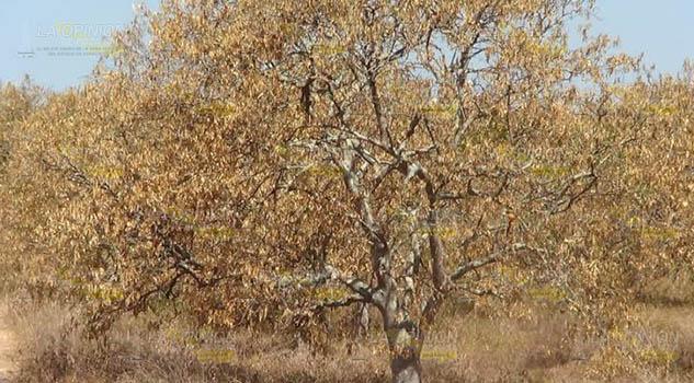 20 mil hectáreas de cítricos afectadas por plaga del dragón amarillo