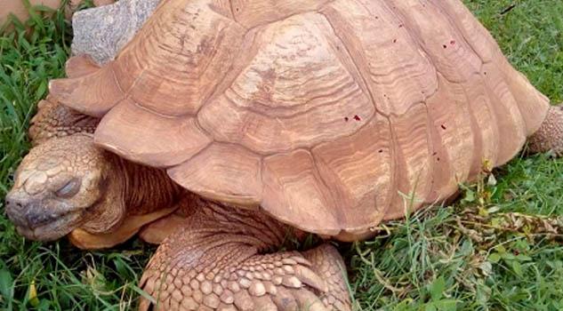 Alagba, la tortuga más antigua de África, muere a los 344 años
