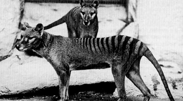 El tigre de Tasmania podría no haberse extinguido