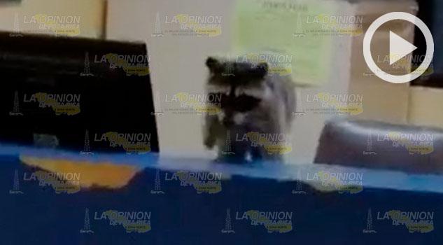 Entró mapache hasta la farmacia del hospital de Pemex en Poza Rica