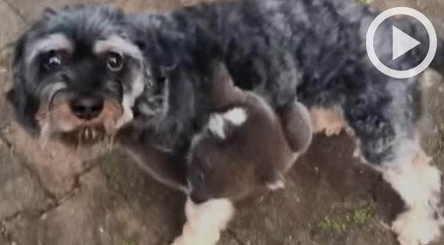 Koala bebé confunde a un perrito con su mamá y lo abraza