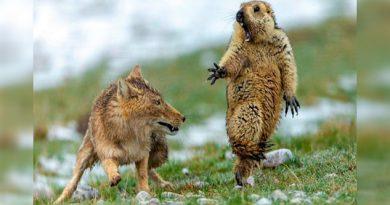 La historia detrás de la foto viral del zorro y la marmota