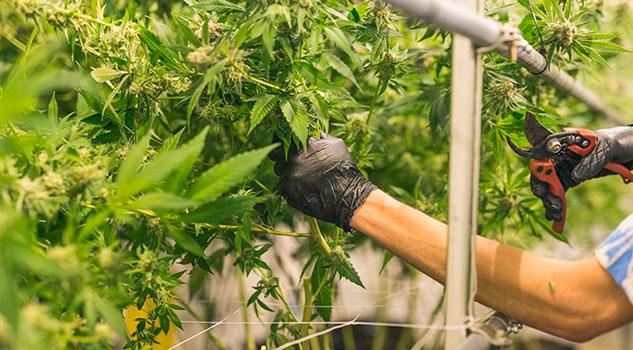 Morenista propone que empresa de gobierno comercialice marihuana