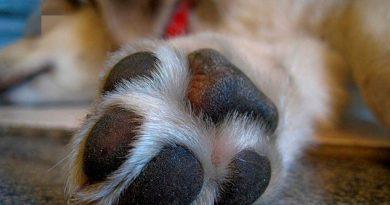 Nori, el perro con rostro de humano que impacta en redes