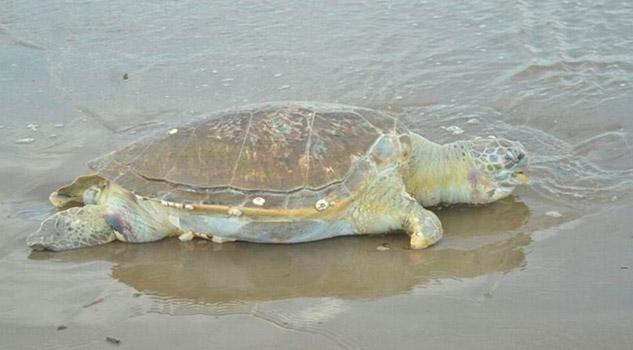 Reportan 25 tortugas muertas en playas de Coatzacoalcos durante 2019