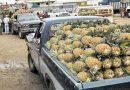 Viene escasez y encarecimiento de piña; sequía la dañó