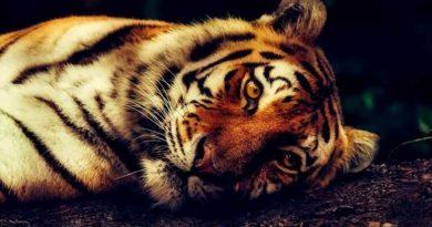 Un tigre mata a una cuidadora de zoo delante de un grupo de visitantes